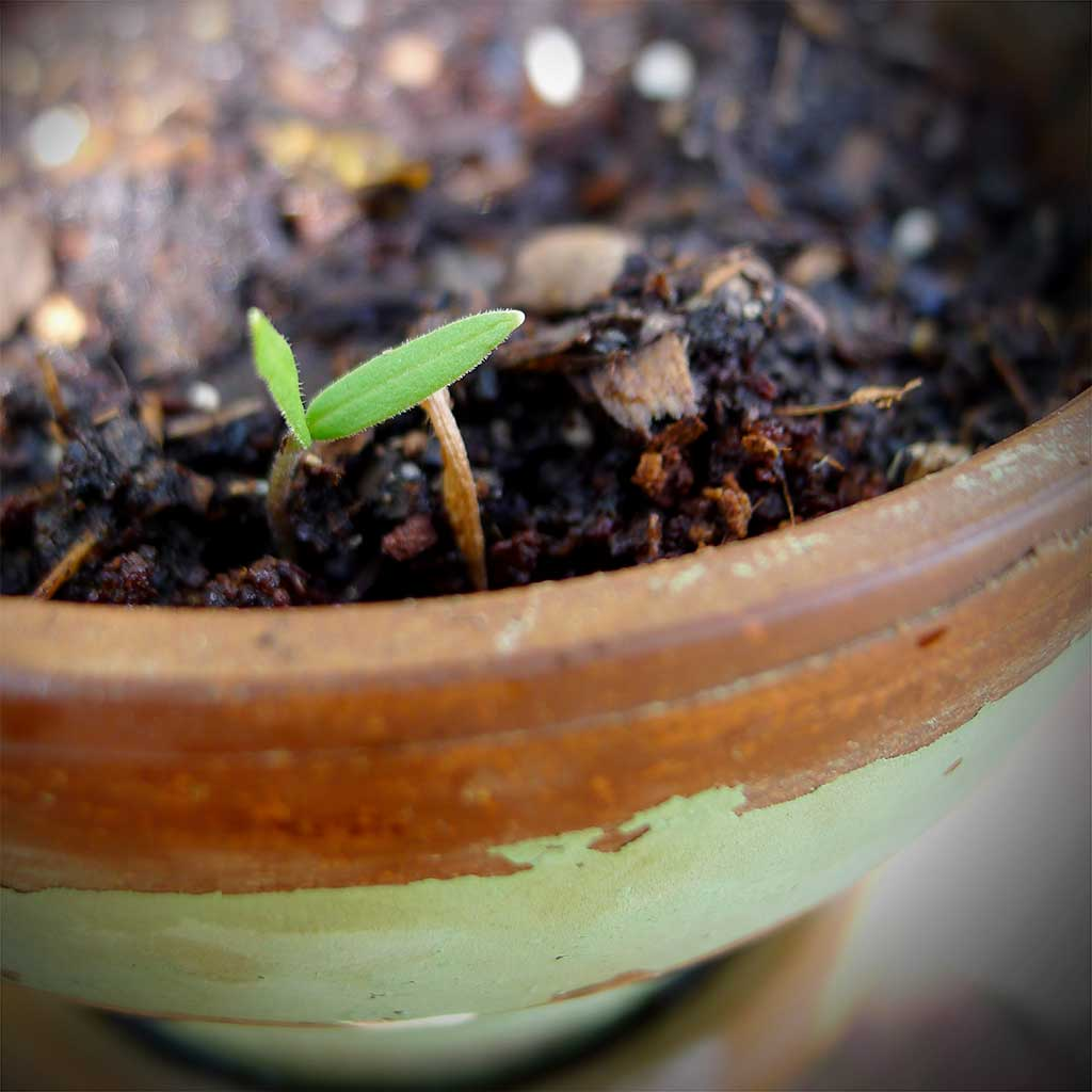 Tomato Plant Sprout Image #1 | ContraryCook.com