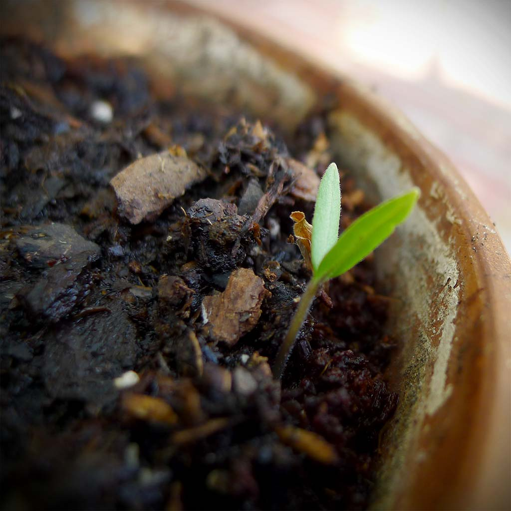 Tomato Plant Sprout Image #2 | ContraryCook.com