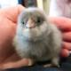 I Met a Cute Chick Tonight | ContraryCook.com
